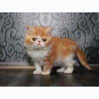 Экзот. Котёнок чистых кровей