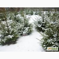 Ель обычная, елка, новогодняя елка, питомник, Киев, Украина