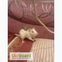 Хочу случить крыску лариску