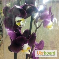 Продажа орхидей в Киеве