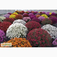 Продам саженцы роз и хризантем