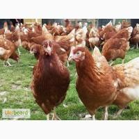 Продам молодых кур несушек ломан браун возраст 120 дней