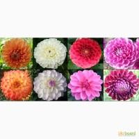 Жоржини (Георгины) під зріз для флористів і дизайнерів композицій