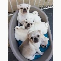 Очаровательные щенки мопса для усыновления