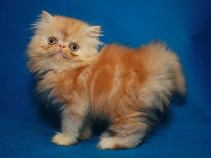 туристы, персы котята в краснодаре фото получился перескоками