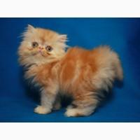 Персидский котенок