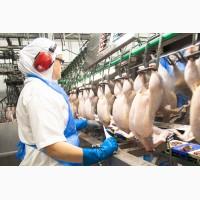 Рабочий на куриный мясокомбинате в Польшу