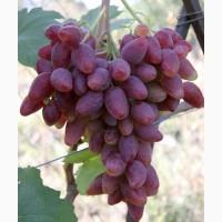 Саженцы винограда элитных сортов
