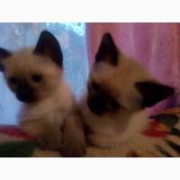 Продам котят тайской прды