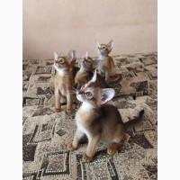Абіссінське кошеня