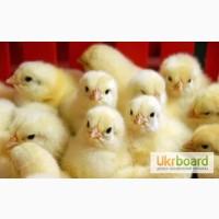 Продам цыплят-бройлеров