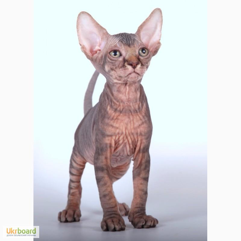 Фото 1/2. КАНАДСКИЙ СФИНКС котята – порода лысых кошек