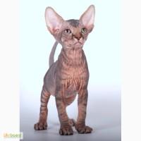 КАНАДСКИЙ СФИНКС котята – порода лысых кошек