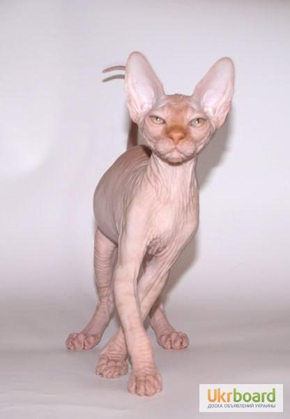 Фото 2/2. КАНАДСКИЙ СФИНКС котята – порода лысых кошек