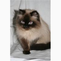 Куплю гималайскую кошечку( котенок)