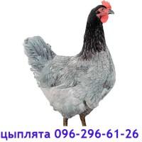 Доминант голубой, суточные цыплята