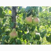 Продам грушу, сорта Осень Буковины и Говерла, урожая 2018 года, с сада