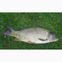 Продам живую рыбу: карп, толстолобик, щука, карась, сом, амур + Зарыбок