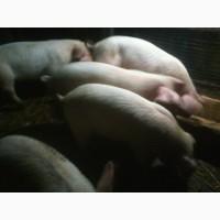 Продам свинки