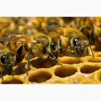 Продам высокопродуктивных пчел от лучших маток Укр.степной породы