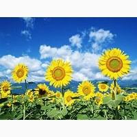 Насіння соняшника Рекольд під гранстар, 112-116 днів
