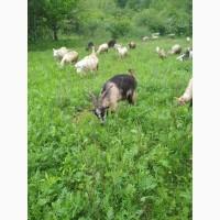 Продаються кози
