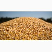 Закуповуємо кукурудзу, великими об#039;ємами
