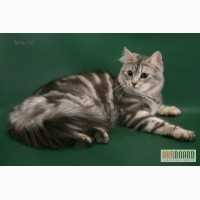 Сибирские котята - настоящие Сибиряки