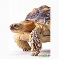 ПРОДАМ : Ручные среднеазиатские сухопутные черепахи