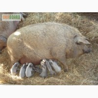 Продаєм поросят, свиней породи Венгерська мангалиця, Мангал.