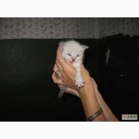 Тайский котенок!