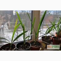 Финиковая пальма двухлетняя