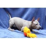 Продам щенков ТАЙСКОГО РИДЖБЕКА рождены 18.11.2012