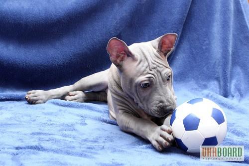 Фото 3/3. Продам щенков ТАЙСКОГО РИДЖБЕКА рождены 18.11.2012