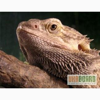Ящерица бородатая Агама - мини динозаврик
