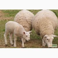 Продам овец, овец с ягнятами