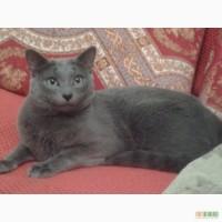 Срочно продаю котят породы русская голубая