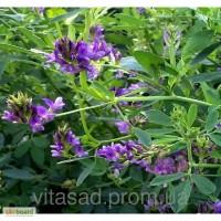 Продам семена люцерны Надежда по цене 55 грн/кг