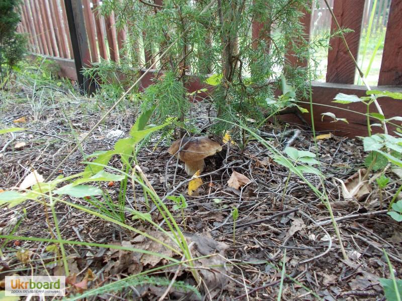 Посадить белый гриб на даче