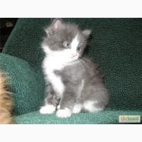 Котята от породистых родителей