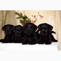 Высокопородные щенки черного цвергшнауцера от титулованных родителей