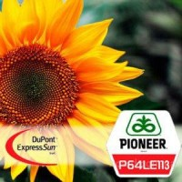 Семена подсолнечника П64ЛЕ113 (Экспресс Сан) «Pioneer»