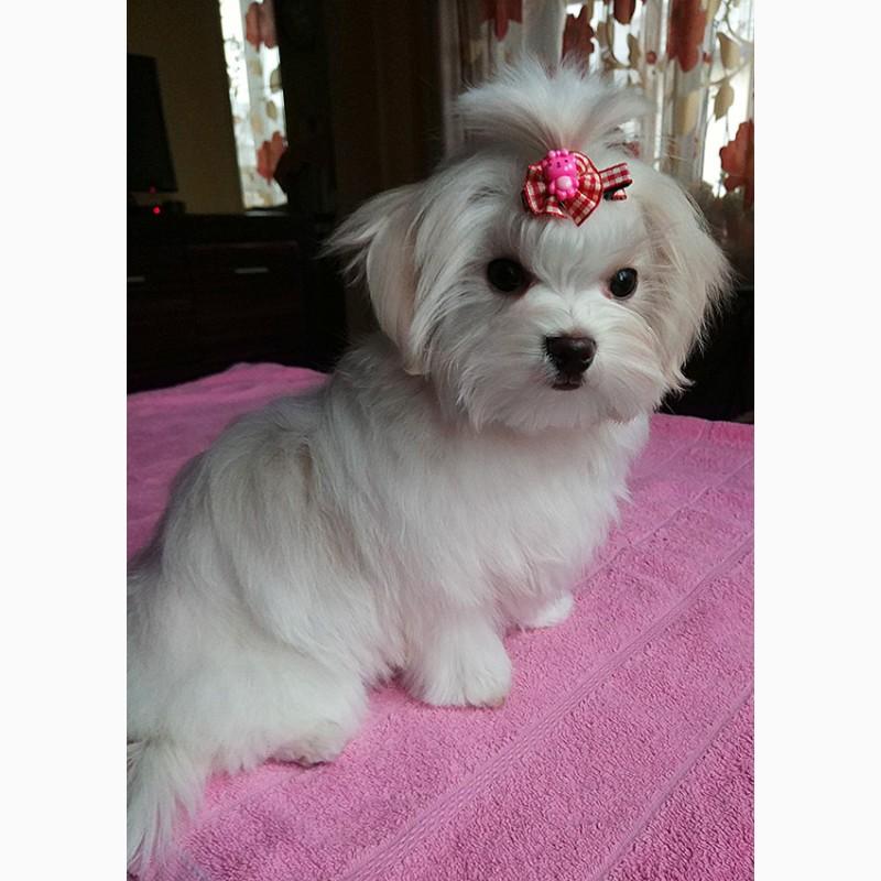 Фото 2. Четырехмесячная девочка - милашка, щенок мальтийской болонки (мальтезе)