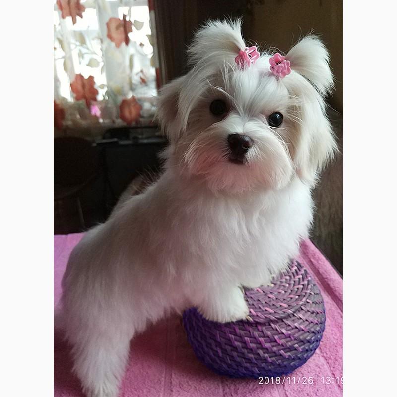 Фото 3. Четырехмесячная девочка - милашка, щенок мальтийской болонки (мальтезе)