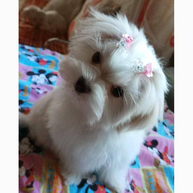 Фото 4. Четырехмесячная девочка - милашка, щенок мальтийской болонки (мальтезе)