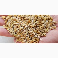 Семена ячменя STOKE канадский ярый трансгенный сорт
