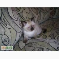 Продам сиамского котенка