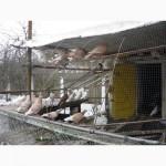 Распродажа голубей