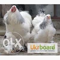 Продам цыплят брама