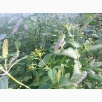 Мед фацелия и разнотравье лугов реки Десна